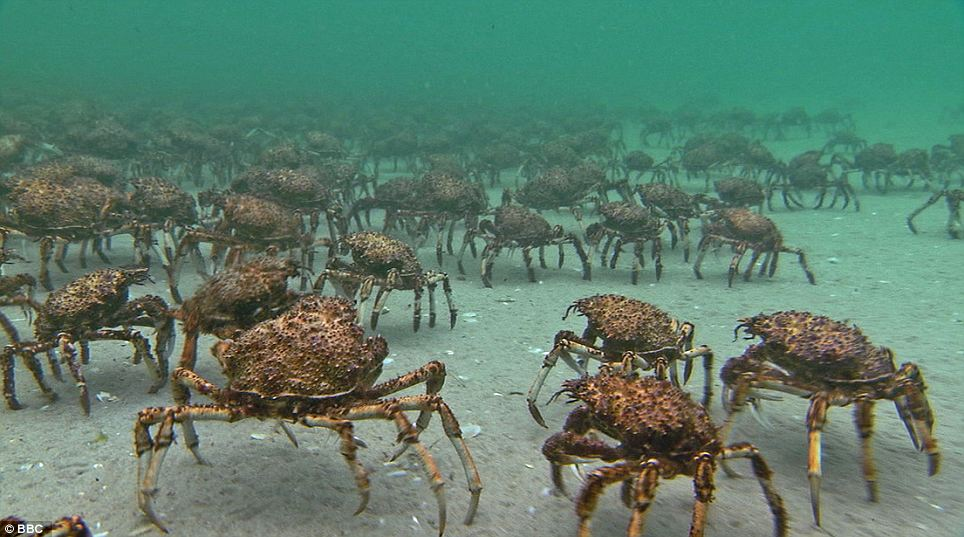 Photo of crabs walking along the ocean floor